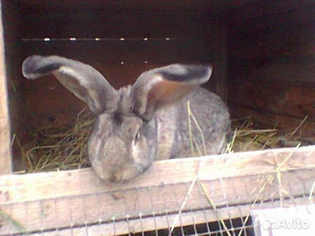 Кролики 89605456826 купить 1