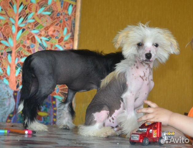 Китайская хохлатая, голые и пуховые щенки, разумные цены, возможна доставка