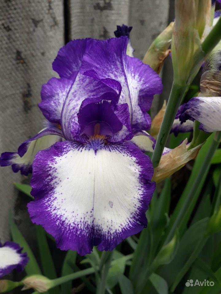Цветы из собственного сада купить на Зозу.ру - фотография № 4