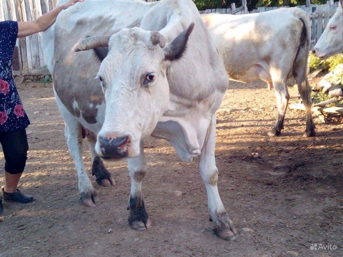 Продается Корова в Камышине - фотография № 1