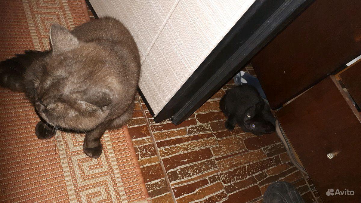 Котята от солнечной британской кош