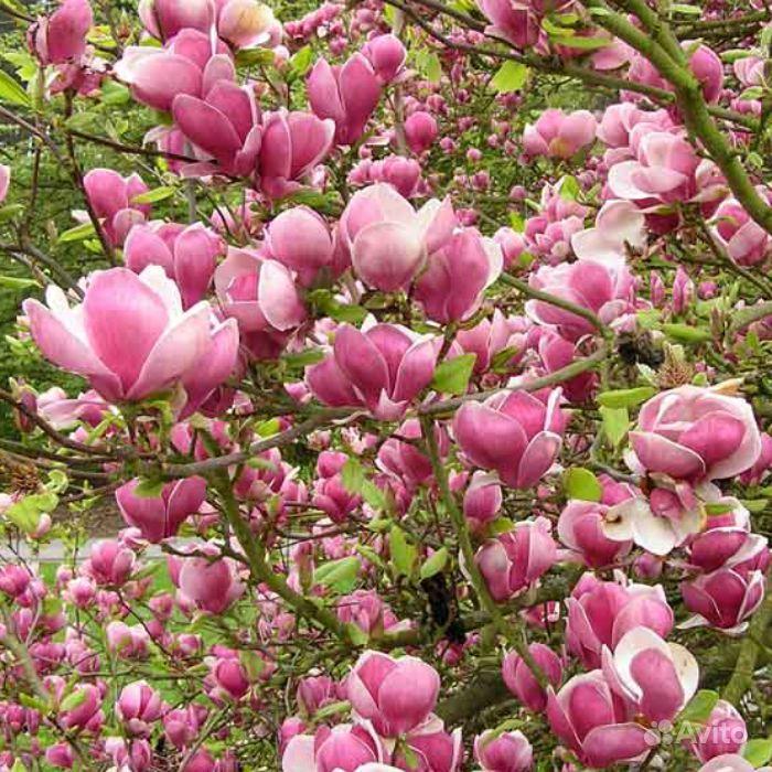 Розовые и белые зимостойкие магнолии купить на Зозу.ру - фотография № 1