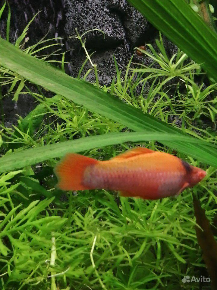 Меченосцы аквариумные рыбки купить на Зозу.ру - фотография № 10