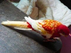 Попугай Розелла самец 3 года