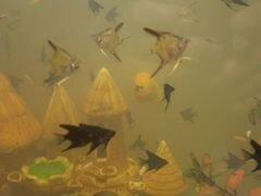 Рыбы Гуппи, скалярии, меченосцы, улитки