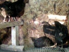 Продаю цыплят