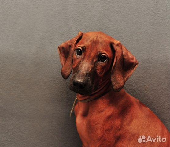 Подрощен,стандартн.щенки риджбека от Интерчемп,Шв купить на Зозу.ру - фотография № 6