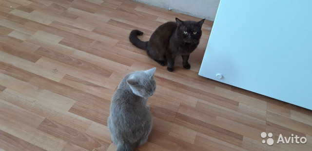 Британские котята 89234897013 купить 3
