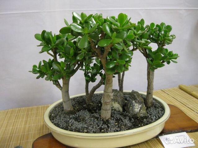 Толстянка (денежное дерево) 89615422677 купить 1