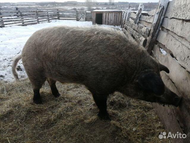 Порода венгерских свиней фотографии показать