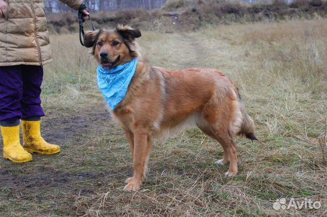 Рыжая собака красотка Джесси в дар купить на Зозу.ру - фотография № 7
