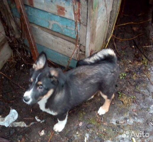 Отдам щенка в добрые руки купить на Зозу.ру - фотография № 2