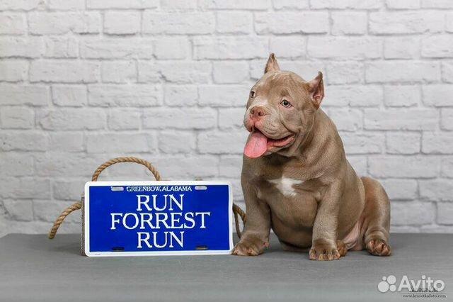 Американские Булли щенки купить на Зозу.ру - фотография № 3