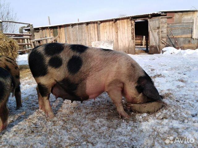 Свиньи супоросые купить 1