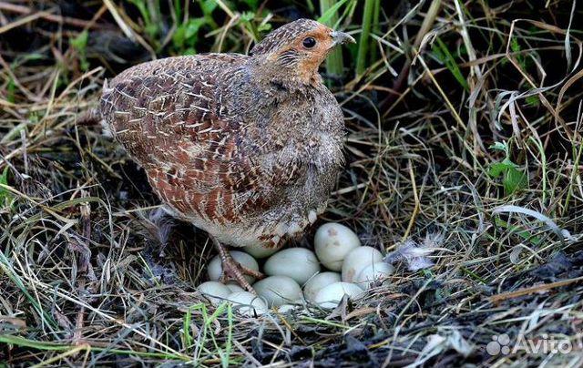 Фазан и куропатка.Инкубационное яйцо