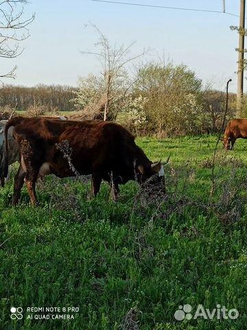 Корова  89380238070 купить 3