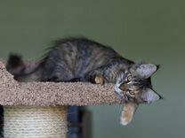 Котенок девочка мейн-кун