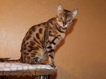 Бенгальская кошка в разведение или любимцы