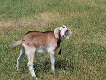 Продаются козы И козлята