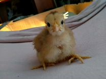 Молодняк, цыплята