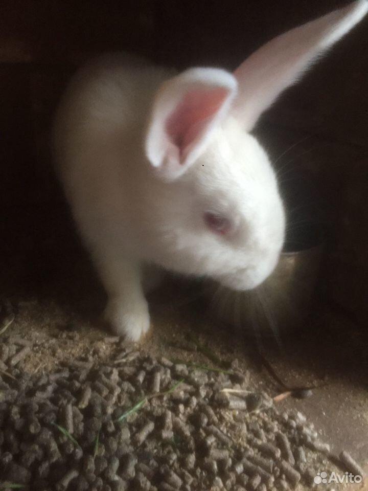 Кролик  89040199481 купить 1