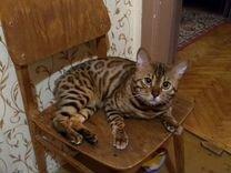 Продам кота бенгальской породы