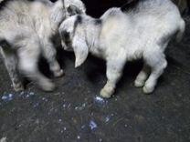 Коза нубийская. внимательно читайте описание