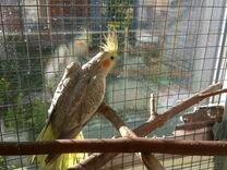 Попугай карела девочка