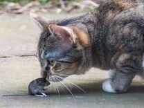 Милые котята разного пола от крысыловов-мышеловов