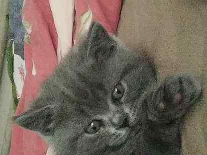 Вислоухие кошки