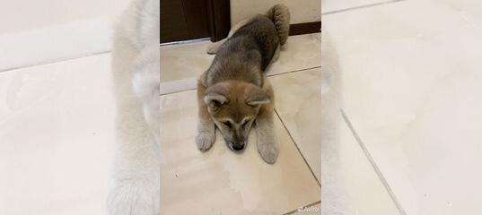 Собака купить в Московской области | Животные и зоотовары | Авито
