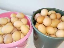 Домашние куриные яички