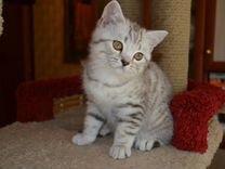 Британский котик с документами