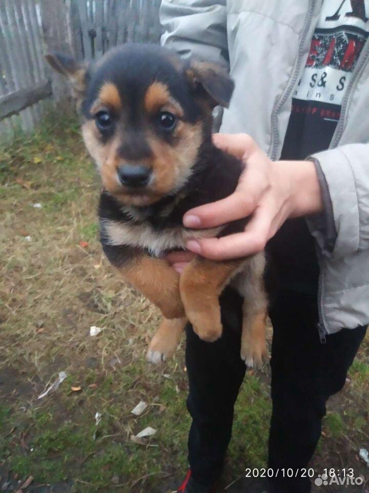 Собака 89964152813 купить 1