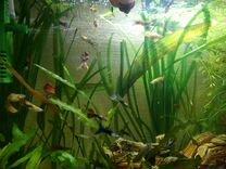 Рыбки гуппи — Аквариум в Геленджике