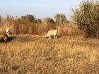 Пассивный доход овцеводство